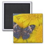 Sammamish Washington Photograph of Butterfly 43 2 Inch Square Magnet