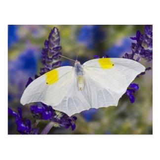 Sammamish, Washington. Tropical Butterflies 13 Postcard
