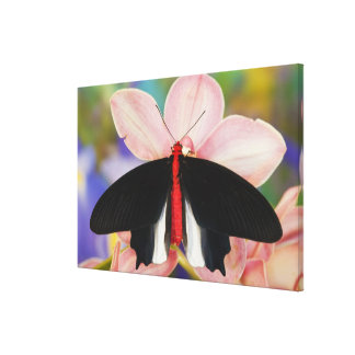 Sammamish, Washington. Tropical Butterflies 15 Stretched Canvas Print