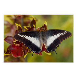 Sammamish, Washington. Tropical Butterflies 16 Poster