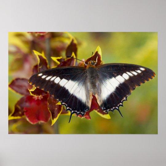 Sammamish, Washington. Tropical Butterflies 16 Poster