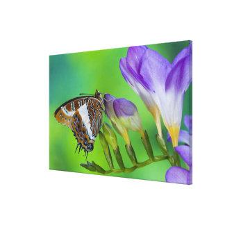 Sammamish, Washington. Tropical Butterflies 18 Canvas Print