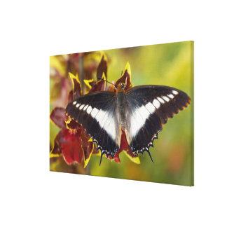 Sammamish, Washington. Tropical Butterflies 20 Canvas Print