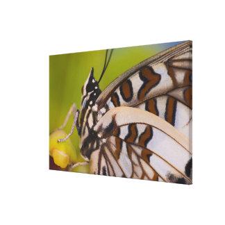 Sammamish, Washington. Tropical Butterflies 27 Canvas Print