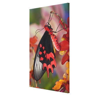 Sammamish, Washington. Tropical Butterflies 2 Canvas Print