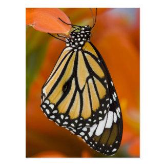 Sammamish, Washington. Tropical Butterflies 2 Postcard