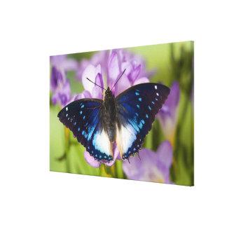 Sammamish, Washington. Tropical Butterflies 30 Canvas Print