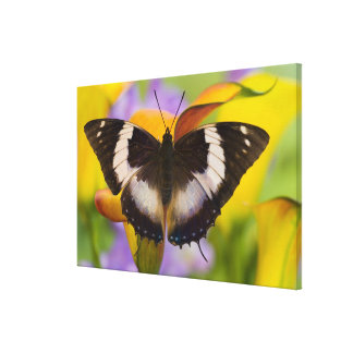 Sammamish, Washington. Tropical Butterflies 31 Canvas Print