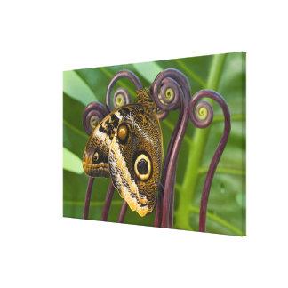 Sammamish, Washington. Tropical Butterflies 35 Canvas Print