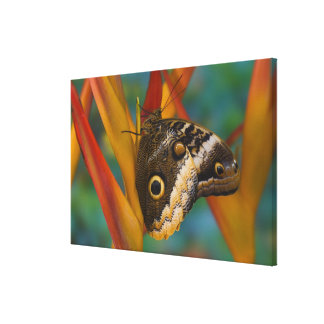 Sammamish, Washington. Tropical Butterflies 37 Canvas Print