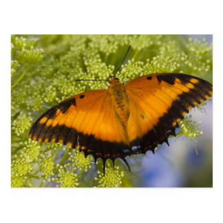 Sammamish, Washington. Tropical Butterflies 37 Postcard