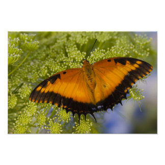 Sammamish, Washington. Tropical Butterflies 37 Poster