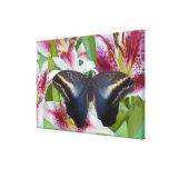 Sammamish, Washington. Tropical Butterflies 40 Canvas Print