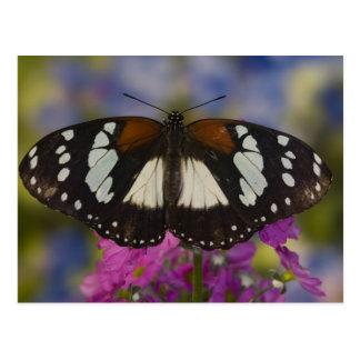 Sammamish, Washington. Tropical Butterflies 41 Postcard