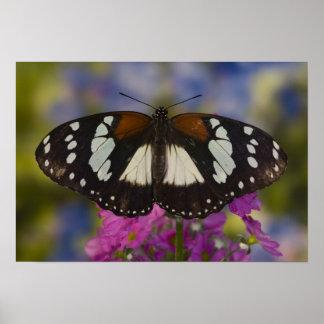 Sammamish, Washington. Tropical Butterflies 41 Poster