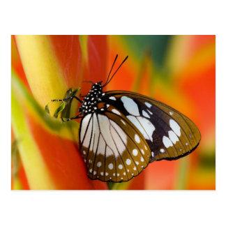 Sammamish, Washington. Tropical Butterflies 42 Postcard