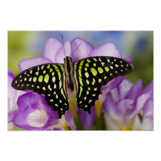 Sammamish, Washington. Tropical Butterflies 44 Poster