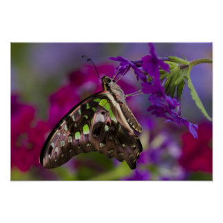 Sammamish Washington Tropical Butterflies 45 Poster