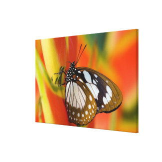 Sammamish, Washington. Tropical Butterflies 46 Canvas Print