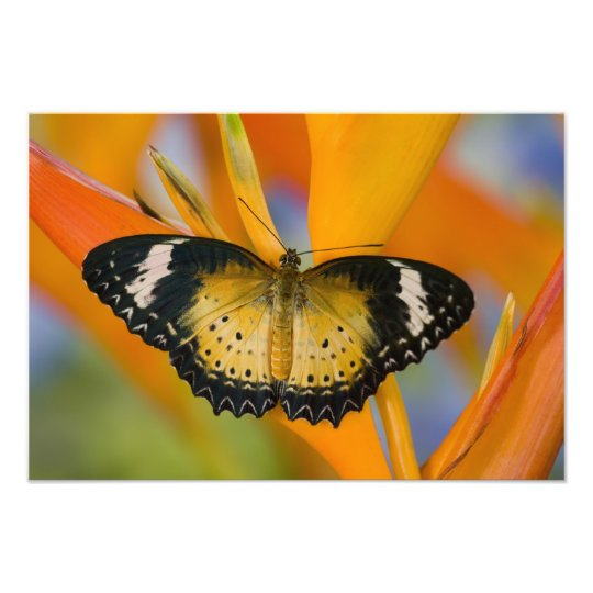 Sammamish, Washington. Tropical Butterflies 47 Photo Print