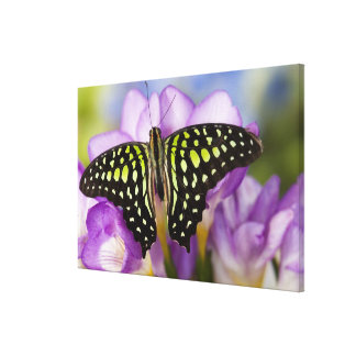Sammamish, Washington. Tropical Butterflies 48 Canvas Print