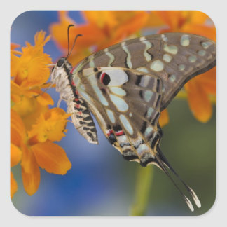 Sammamish, Washington. Tropical Butterflies 49 Square Stickers