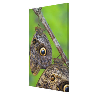 Sammamish, Washington. Tropical Butterflies 4 Canvas Print