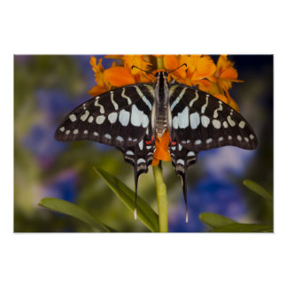Sammamish, Washington. Tropical Butterflies 50 Poster