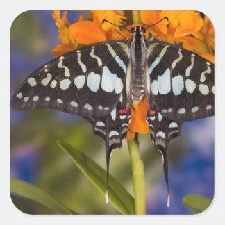 Sammamish, Washington. Tropical Butterflies 50 Square Sticker
