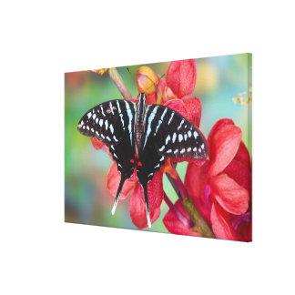Sammamish, Washington. Tropical Butterflies 52 Canvas Print
