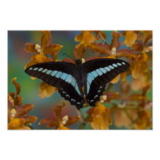 Sammamish, Washington. Tropical Butterflies 52 Poster