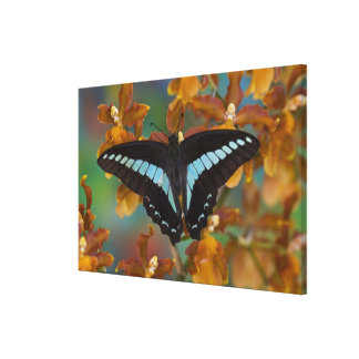 Sammamish, Washington. Tropical Butterflies 56 Canvas Print