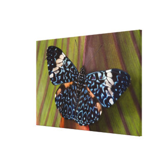 Sammamish, Washington. Tropical Butterflies 58 Canvas Print