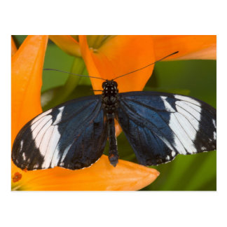 Sammamish, Washington. Tropical Butterflies 59 Postcard