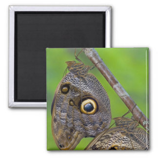 Sammamish, Washington. Tropical Butterflies 5 2 Inch Square Magnet