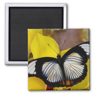 Sammamish, Washington. Tropical Butterflies 62 2 Inch Square Magnet