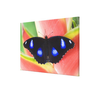 Sammamish, Washington. Tropical Butterflies 62 Canvas Print