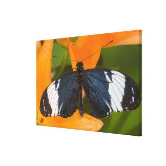Sammamish, Washington. Tropical Butterflies 63 Canvas Print