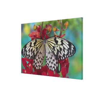Sammamish, Washington. Tropical Butterflies 67 Stretched Canvas Print