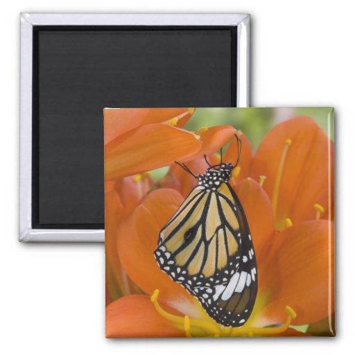 Sammamish, Washington. Tropical Butterflies 69 2 Inch Square Magnet
