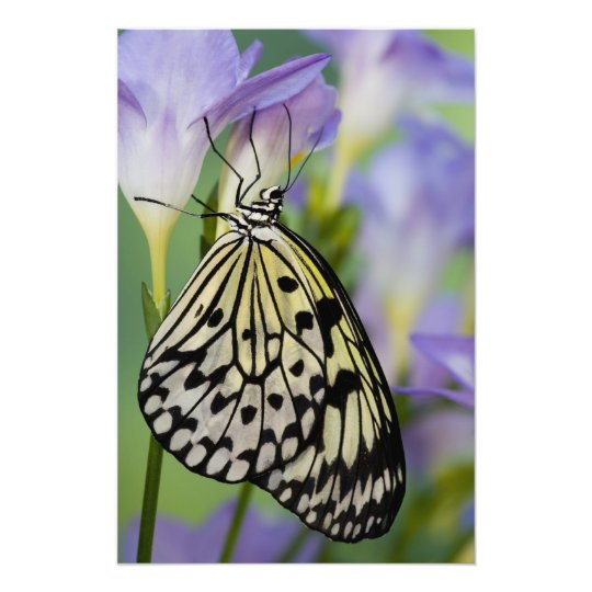 Sammamish, Washington. Tropical Butterflies 6 Photo Print