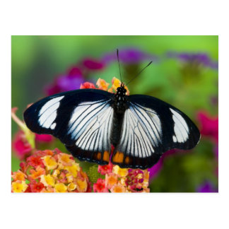 Sammamish, Washington. Tropical Butterflies 70 Postcard
