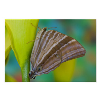 Sammamish, Washington. Tropical Butterflies 8 Poster