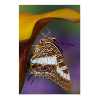 Sammamish, Washington. Tropical Butterflies 9 Poster