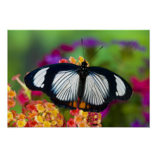 Sammamish, Washington. Tropical Butterflies Poster