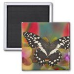 Sammamish, Washington Tropical Butterfly 10 2 Inch Square Magnet