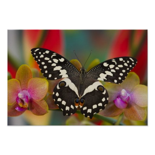 Sammamish, Washington Tropical Butterfly 10 Poster