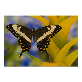 Sammamish, Washington Tropical Butterfly 11 Poster