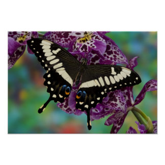 Sammamish, Washington Tropical Butterfly 13 Poster