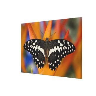 Sammamish, Washington Tropical Butterfly 14 Canvas Print